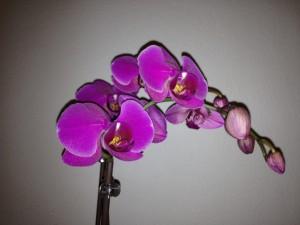 Lila Orchidee kaufen