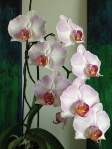 Rosa Orchidee kaufen