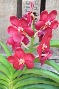 Rote Orchidee kaufen