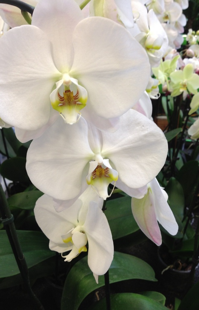 wei e orchideen kaufen wei e phalaenopsis im online shop